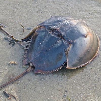 Horseshoe Crab on sand