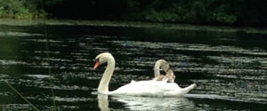 swans in water