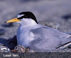 Least Tern Dead Neck Island Bird