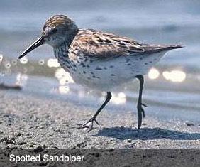 Spotted Sandpiper bird