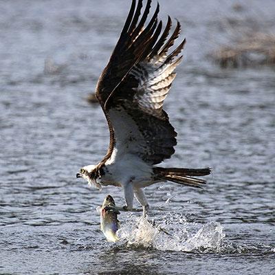 Osprey flying over Herring