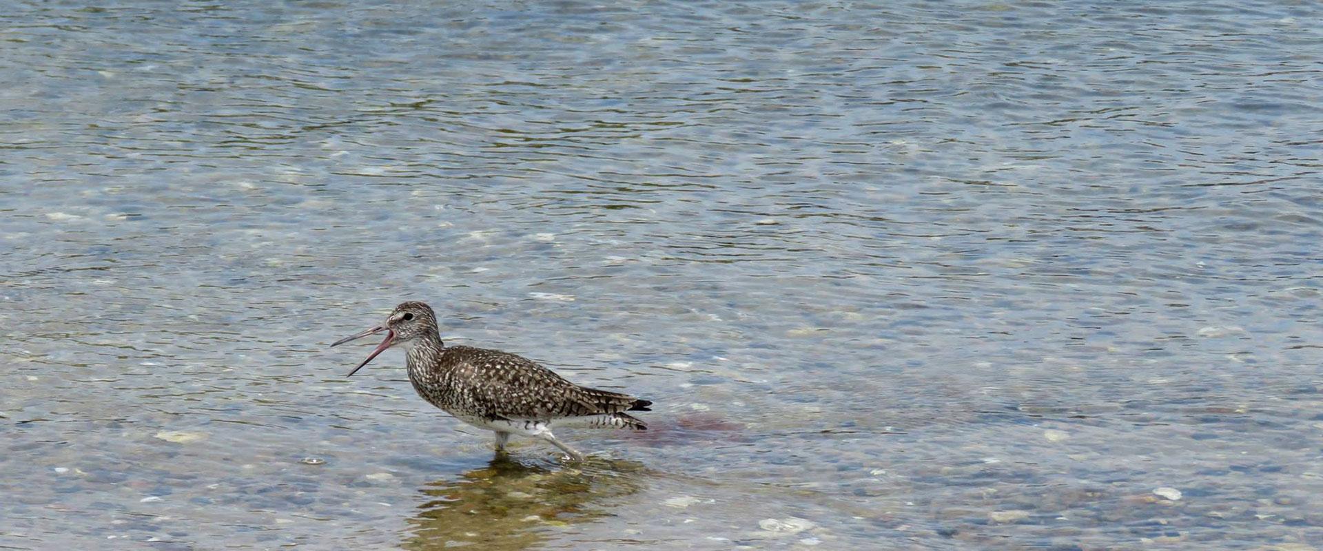 willet bird in water