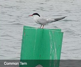 Common Tern bird