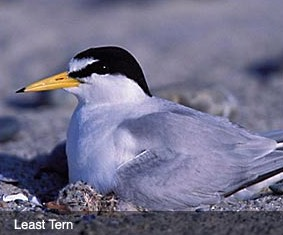 Least Tern Dead Neck Island Bird