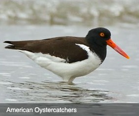 american oyster catcher bird