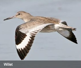 willet bird flying