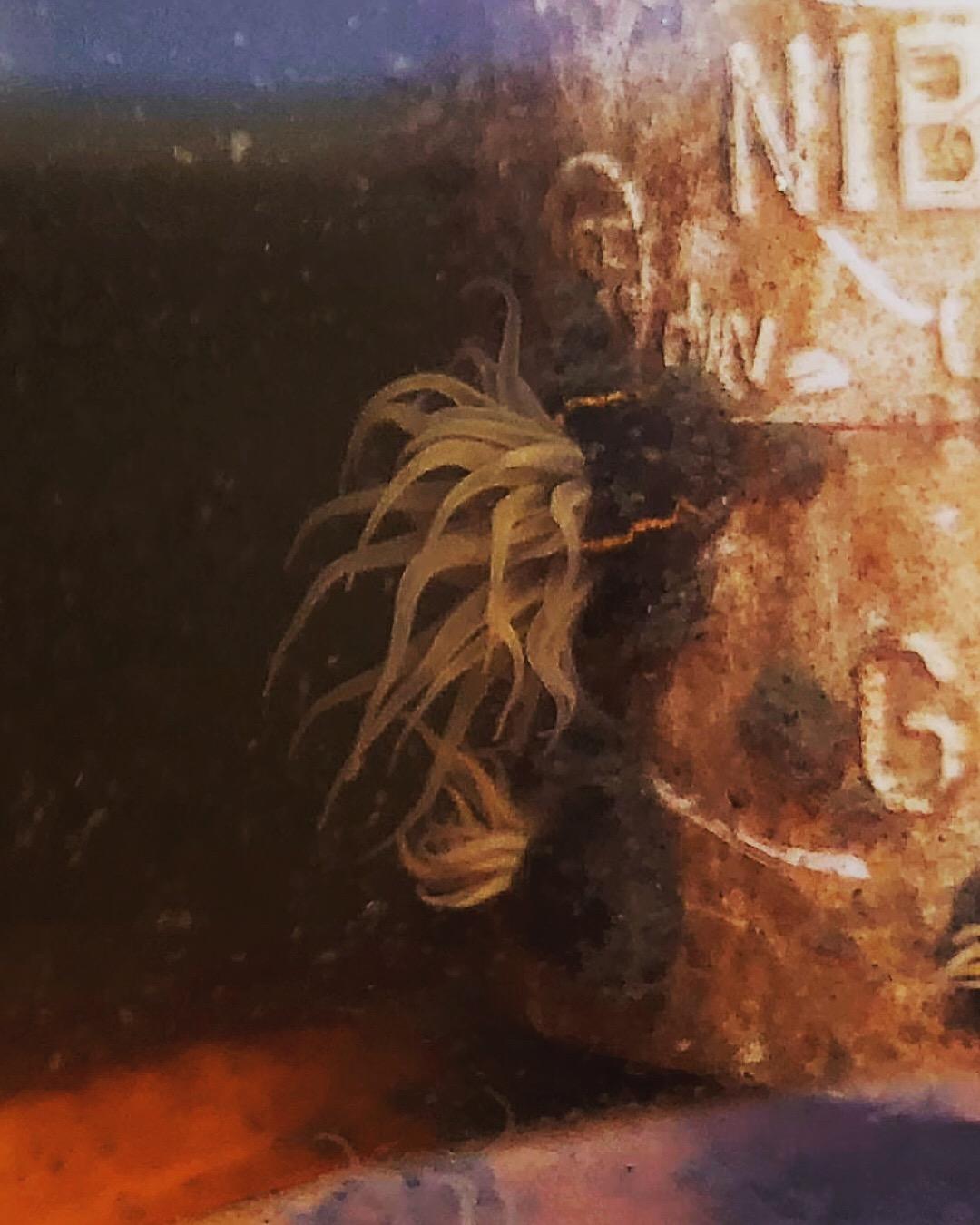 Striped Sea Anemone 6