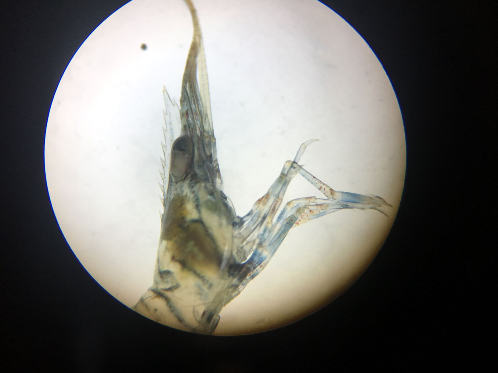 European Rock Shrimp 1a